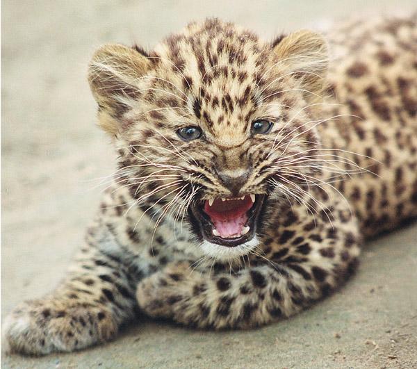 Маленький леопард