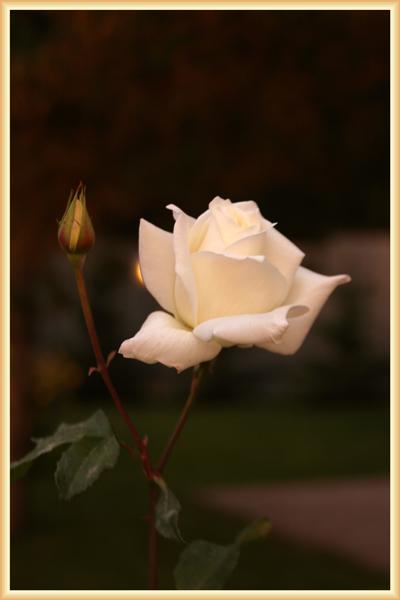 Роза белая в рамке 1.jpg (400x600, 142Kb)