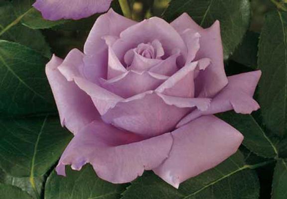 fioletovaja rozo4ka.jpg (576x400, 31Kb)