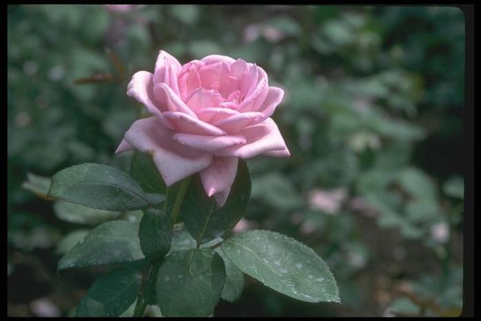 rozovaja roza.jpg (699x466, 30Kb)