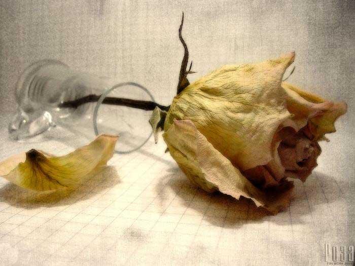 увядшая роза.jpg (700x525, 57Kb)