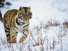тигр снег.jpg (280x210, 18Kb)