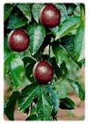 passiflora1.jpg (129x180, 6Kb)
