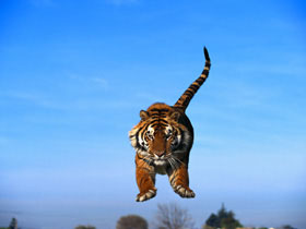 тигр в полёте.jpg (280x210, 8Kb)