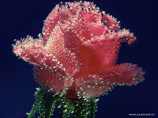 1006948380_underwater_rose.jpg (533x400, 64Kb)