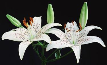 lilys.jpg (376x230, 15Kb)