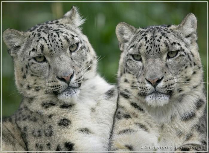 snowleopard-vi.jpeg (699x512, 114Kb)