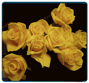 розы.jpg (300x279, 74Kb)