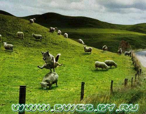 волки овцы.jpg (500x390, 42Kb)