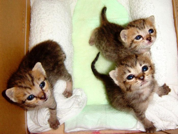 kittens_03.jpg (700x525, 56Kb)