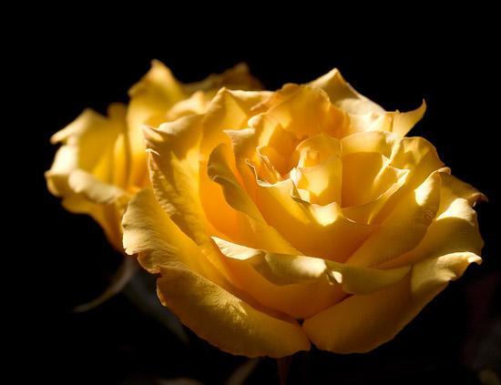 Роза.JPG (550x423, 21Kb)