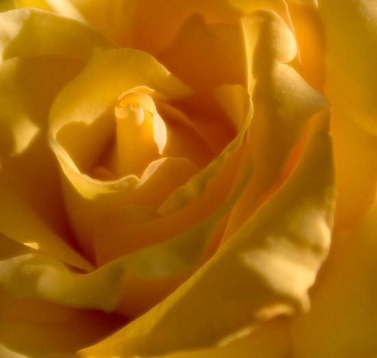 Роза2.JPG (550x523, 21Kb)