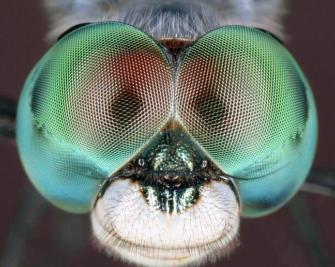 insects-odonata-blue-dasher-dragonfly-eyes-pachydiplax-longipennis-macro018.jpg (692x551, 177Kb)