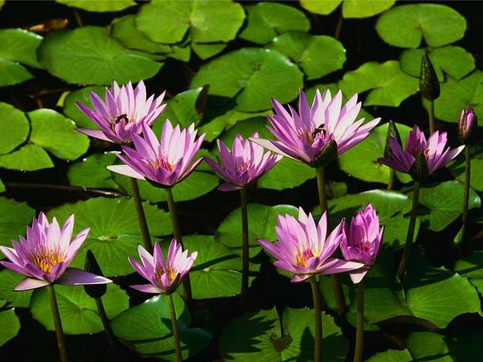 Водяные лилии.jpg (700x525, 115Kb)