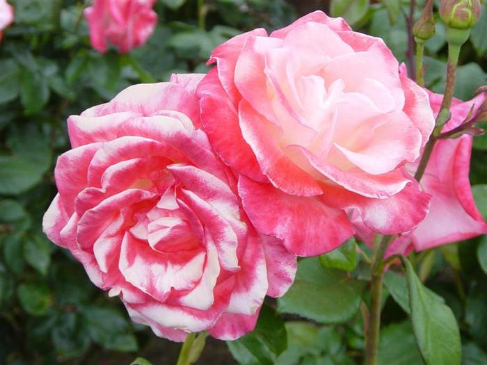 21-roses.jpg (700x525, 51Kb)
