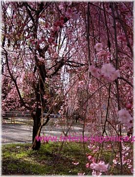 pinksakura2a.jpg (276x360, 60Kb)