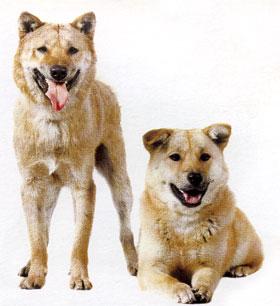 Корейская собака хиндо.jpg (280x306, 21Kb)