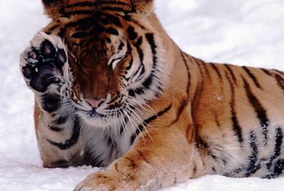 tigr101.jpg (400x269, 37Kb)