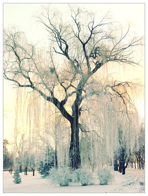 winter_willow_by_FigoTheCat.jpg (300x396, 47Kb)
