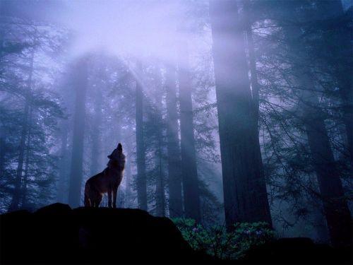 Воющий волк.jpg (500x375, 25Kb)
