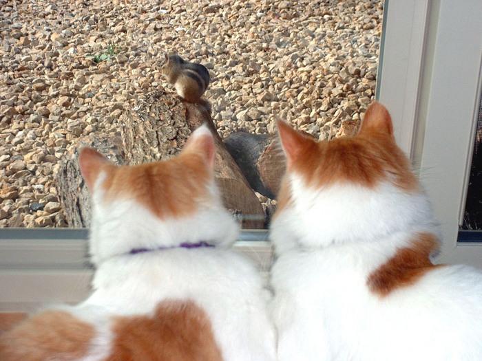 18_kitties_chipmunk_1_1.JPG (700x525, 163Kb)