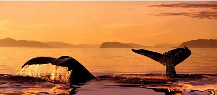 whales_01.jpg (700x307, 49Kb)