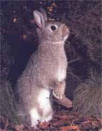 дикий кролик.jpg (200x257, 17Kb)