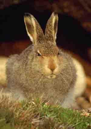 тибетский заяц.jpg (300x422, 9Kb)