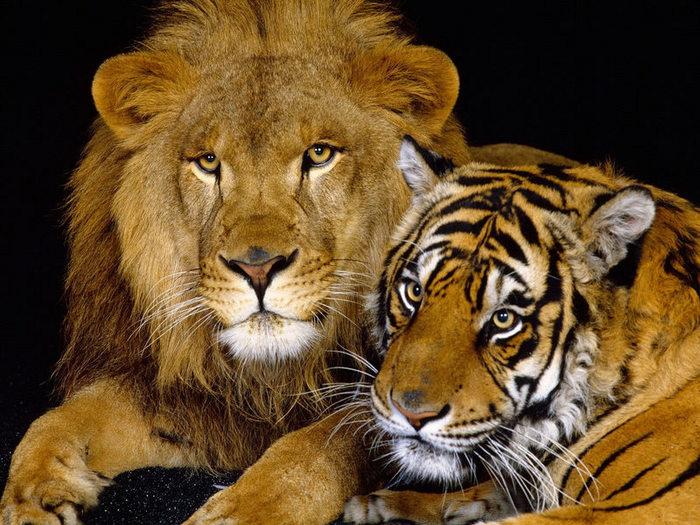 tiger-and-lion.jpeg (700x525, 123Kb)