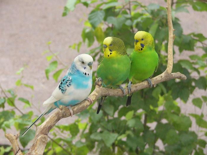 Волнистые попугаи обитание