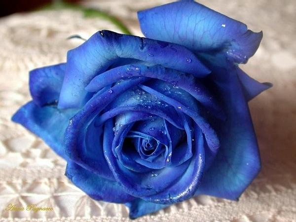 4627200_BlueRose.jpg (600x450, 38Kb)