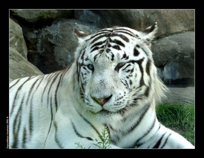 тигр.jpg (700x541, 88Kb)