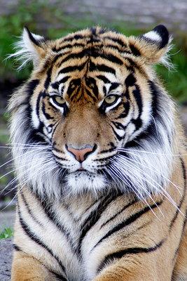844677_tigr.jpg (267x400, 43Kb)