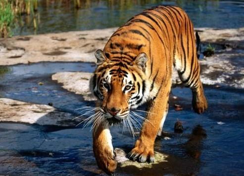 тигр  по лужам.jpg (493x357, 61Kb)