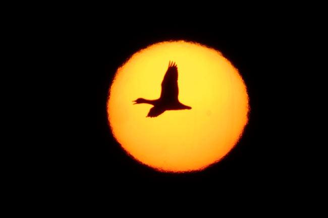 Snow-Goose-huge-bright-sun-.jpg (650x432, 14Kb)