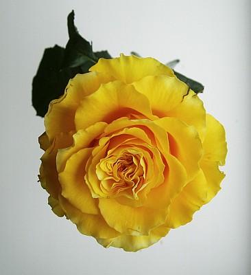 Желтая роза.jpg (366x400, 45Kb)