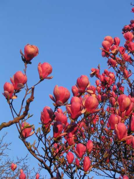 magnolias.jpg (461x614, 36Kb)