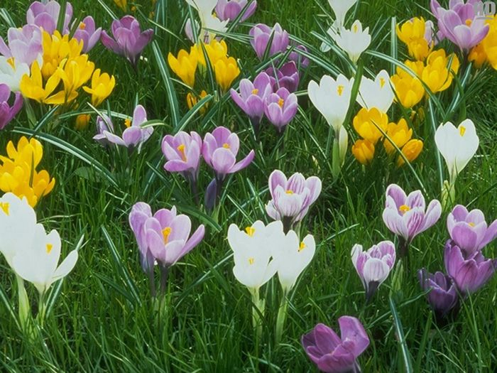 Nature_Flowers__000715_1.jpg (700x525, 95Kb)