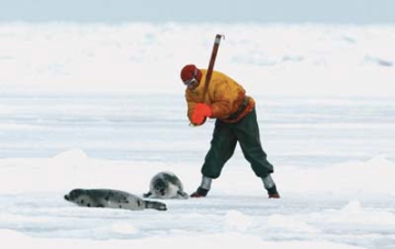 6454062_anticruelty_articlesealhunt.jpeg (360x227, 36Kb)
