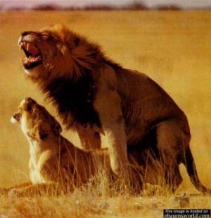 lion.jpg (300x311, 13Kb)