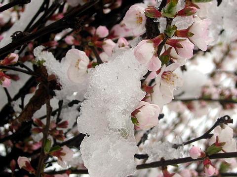snegnajablonje.jpg (480x360, 64Kb)