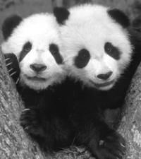 panda_friends.jpg (200x225, 7Kb)