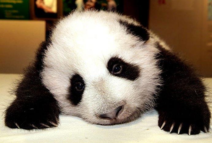 panda2.jpg (691x467, 52Kb)
