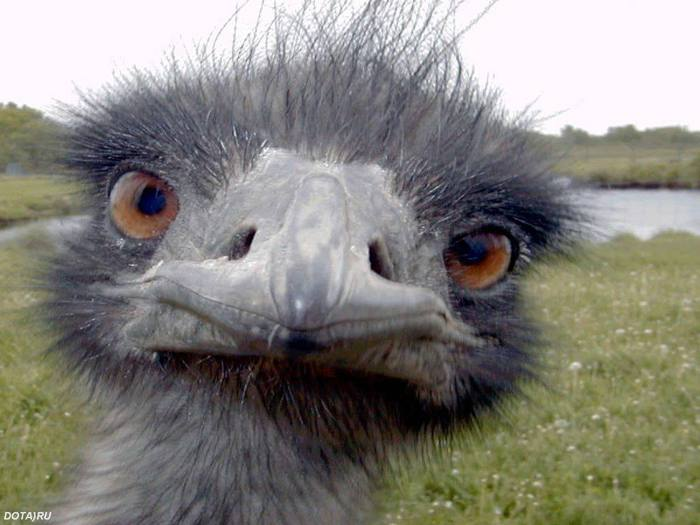 страус.jpg (700x525, 46Kb)