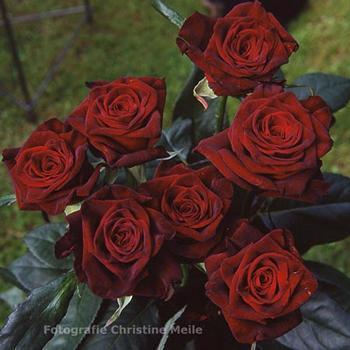 Roses (350x350, 21Kb)