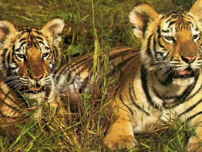 tigri (699x527, 56Kb)