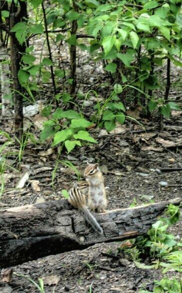 (Тигры , 82Kb )